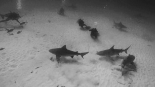 at certain times of the year you can scuba as well as freedive with the bullsharks in mexico. at a depth of 23 metres you need to be a competent freediver